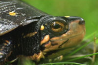 spotted turtle.jpg